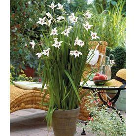 Star Gladiolus Bulb