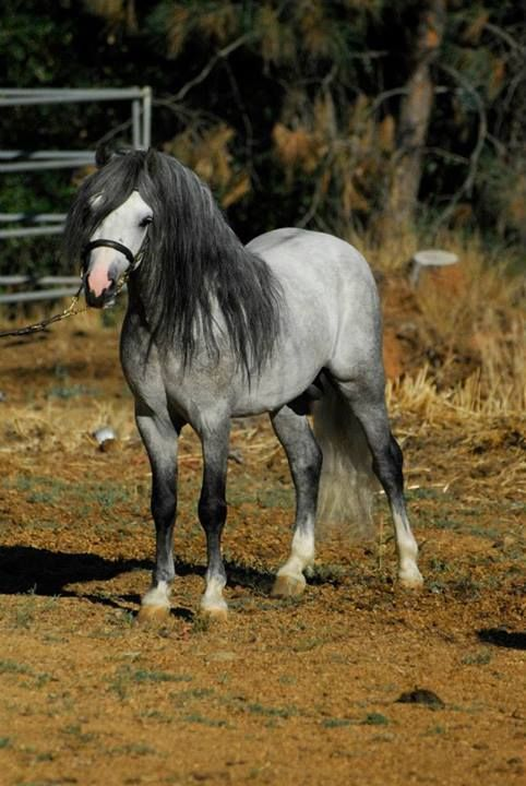 Welsh Mountain pony stallion SRW Spree's Silver Mine