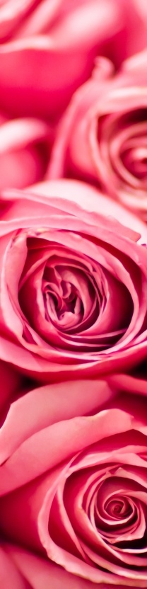 ♥ pink roses ♥