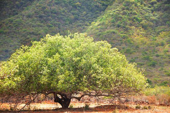 Umbuzeiro - a árvore do umbu