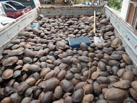 philippine forest turtles, palawan islands, endangered turtles, animal trafficking, poachers, animal abuse, critically endangered turtles