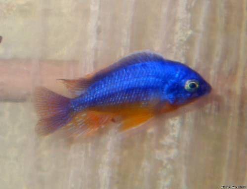 """Protomelas sp. """"Spilonotus Tanzania"""""""
