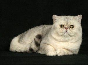 exotico de pelo corto, El gato exótico comparte el tipo de cuerpo del persa, pero le falta el pelaje largo y que se enreda fácilmente. El exótico ideal debe tener una estructura ósea fuerte, debe ser un gato bien balanceado con una expresión dulce y líneas suaves y redondas.