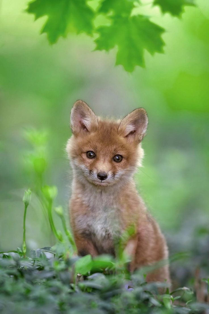 ~~Red Fox Pup by Nick Kalathas~~                                                                                                                                                                                 More