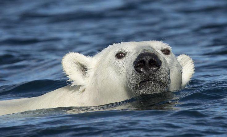 Далеко ли до Сочи ?. Белые медведи , как и их близкие родственники  бурые медведи, являются хорошими пловцами . Проплыть сотню -другую километров для них не составляет особого труда. Известен случай, когда самка белого медведя проплыла больше 420 миль (685 километров) ледяными водами моря Бофорта на север от Аляски. За время своего девятидневного заплыва медведица потеряла своего годовалого детёныша и сильно похудела. За перемещением животного следили с помощью прикреплённого к нему…