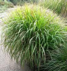 Bildresultat för vintergröna växter