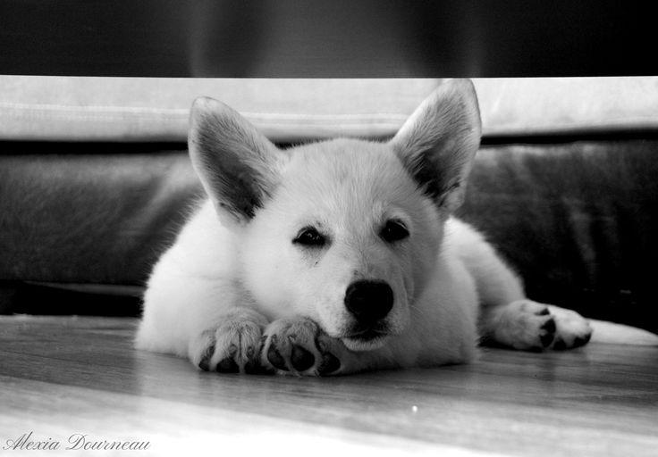 #animal #animals #animaux #nature #chiot #chien #dog #dogs #bergerblancsuisse #bergersuisse #photography #photographie #blackandwhite #noiretblanc