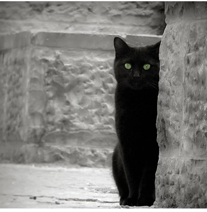 Another beautiful black cat. Looks just like our Eddie. Also love the framing, great photo.
