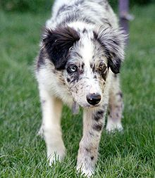Blue Merle Border Collie puppy at fourteen weeks demonstrating stereotyped breed-specific behaviors including eye (gaze and lowered stance); this dog's eyes are different colours, which is not uncommon in merles.