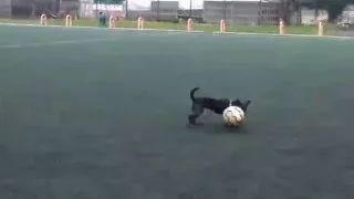 Minka - pies piłkarz / dog is playing soccer - psiaminka.pl - YouTube