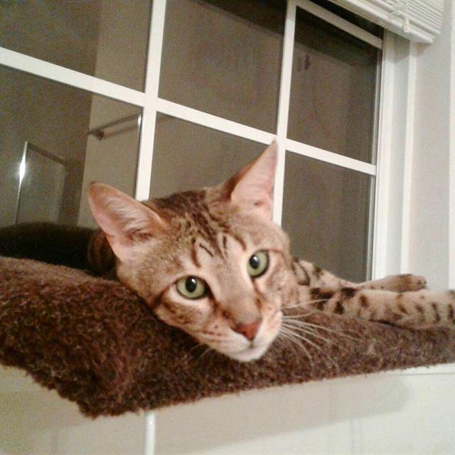 #savannahcat  #wildcat  #cat  #pet  #family  #lovely  #gorgeous  #like4like  #lifestyle  #happy  #サバンナキャット  #ワイルドキャット  #愛猫 #ペット #ゴージャス #海外生活  #アメリカ  #ハッピー #猫好き