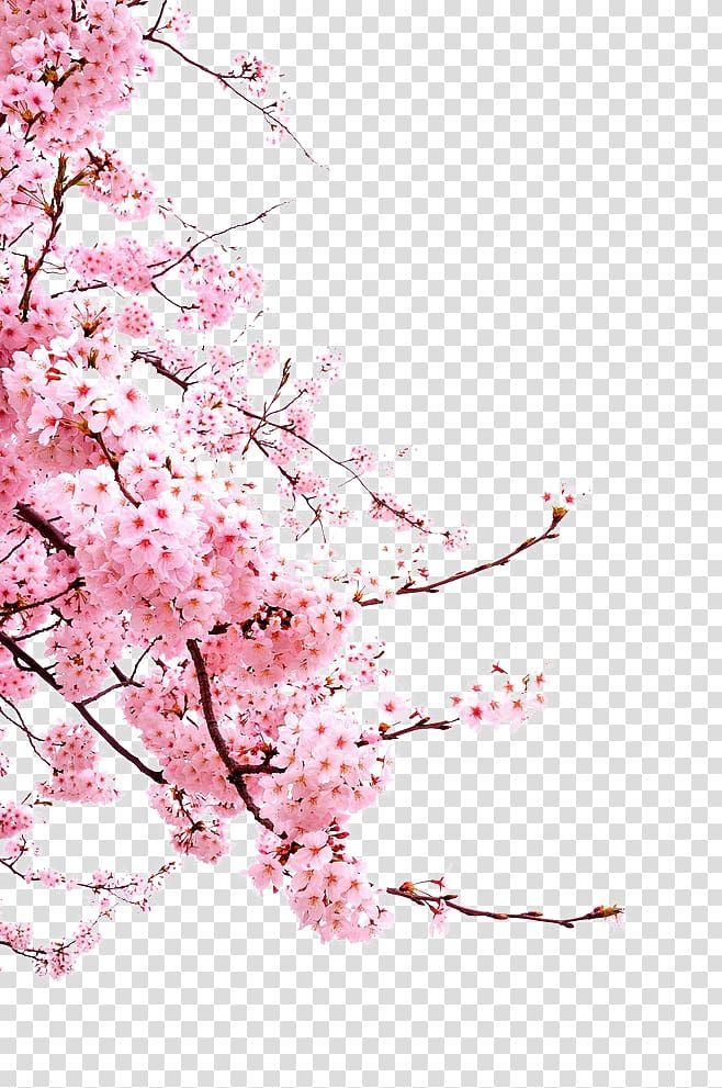 Cherry Blossom Flower Japanese Cherry Blossoms Pink Cherry Blossoms Transparent Background In 2020 Cherry Blossom Painting Cherry Blossom Art Cherry Blossom Drawing