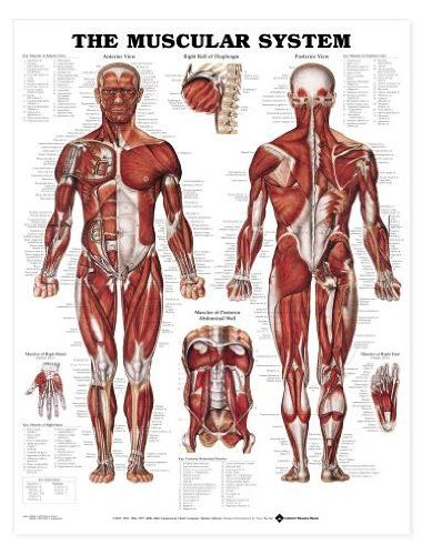 The Muscular System Anatomical Chart Poster Print Laminated Poster 20 x 26in  decorate your walls with this brand new poster  easy to frame and makes a great gift too  ships quickly and safely in a sturdy protective tube  measures 20.00 by 26.00 inches (50.80 by 66.04 cms)