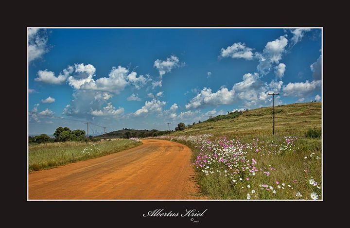 Cosmos flowers durt road.