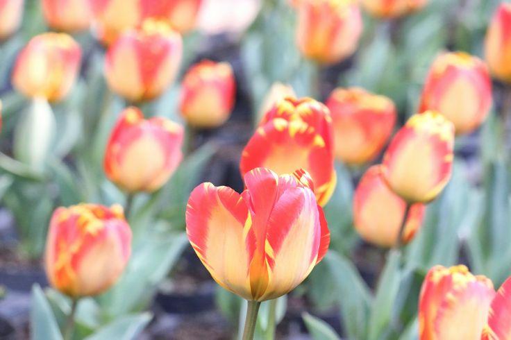 봄이 왔습니다~! 꽃이 만발했네요^^ 한림공원 hallimpark에 피어 있는 꽃!  #제주도여행사 #제주그린시티 #사진 #여행 #맞팔 #소통 #follow #맞폴 #여행스타그램