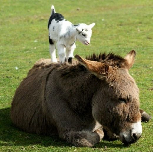 Our donkey used to give all the little goats piggy back rides. So adorable!