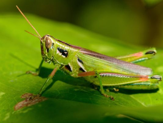 Grasshopper outbreak surfaces on weather radar in New Mexico