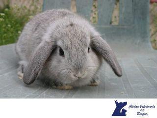 https://flic.kr/p/W8Hpcq | Conejo belier enano. CLÍNICA VETERINARIA DEL BOSQUE 2 | LA MEJOR CLÍNICA VETERINARIA DE MÉXICO. La raza de conejo Belier enano tiene un pelaje compuesto por pelos cortos y se considera una de las más dóciles y domesticables de todas las razas, lo que unido a su esperanza de vida, entre siete y diez años, lo convierten en uno de los mejores conejos a tener en cuenta para adoptarlo como mascota, ya sea para niños o adultos. www.veterinariadelbosque.com…