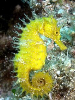 Hippocampus guttulatus                                                       …