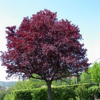 Rosaceae Prunus cerasifera 'pissardii' Purple leaf plum