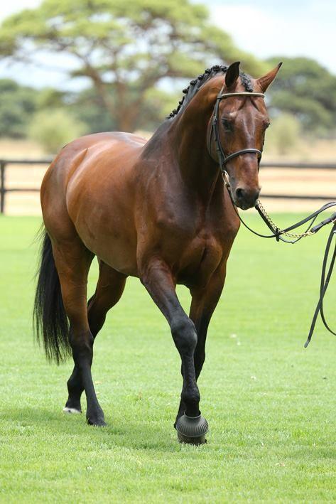 ladydressage:  Callaho's Con Coriano- 2004 Bay Holsteiner Stallion