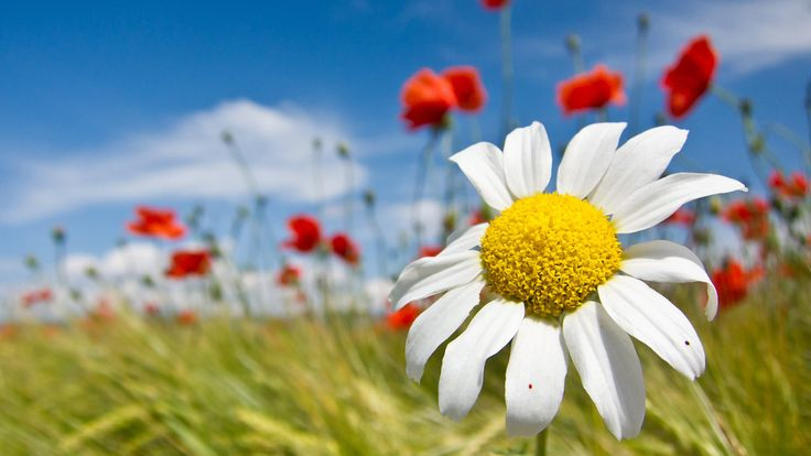 Lessons, Activities, and Curriculum Resources Usher in SpringDaisies Flower, White Flower, Spring Flower, Spring Seasons, Fields Flower, Google Search, Amazing Nature, Desktop Wallpapers, Flower Fields