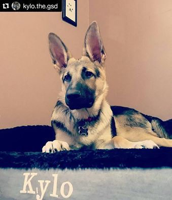 Furriends look what dad just bought me!! An orthopedic dog bed with my name on it  and look at my puppy paw print framed above my bed  Dad you're the best! #germanshepherdsofinstagram #germanshepherd #gsd #gsdofinstagram #gsdstagram #gsdofig #instagsd #thegermanshepherdworld #gsdloverss #gsdsofigworld #dog_features #gsdcloudy #weeklyfluff #bestwoof #mydogiscutest #dogsofinstaworld Check out more dog beds at: http://k9ballistics.com