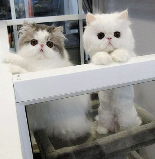 Either these are two Exotic Shorthairs or two Persians. Too young to tell.  Too cute, though.