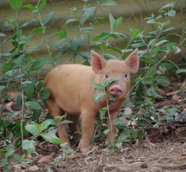 Australian Free Range Pastured Pig Farmers - Tamworth
