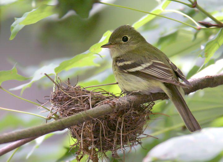 Acadian Flycatcher nesting.  On Canada's  endangered species list.