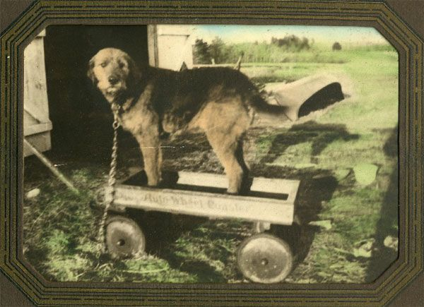 Working Airedale