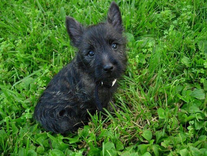 Cairn Terrier escocés