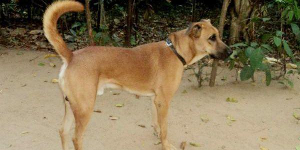 Kombai Dog Breed Information and images #kombaidog #kombaidogimages #Indiandogsbreeds