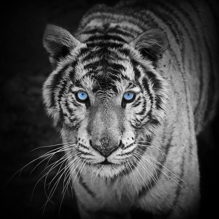 Stunning Pet tiger, Tiger wallpaper, Tiger photography