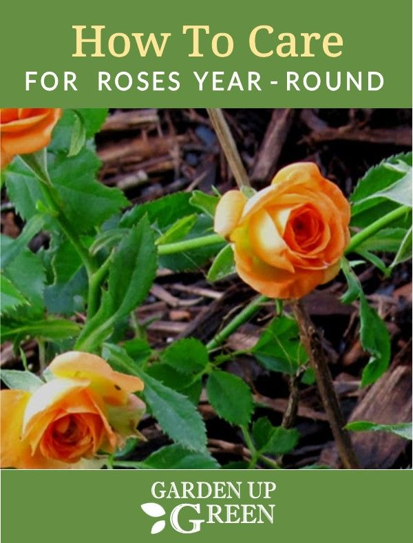 How To Care For Roses Rose Care Garden Care Planting Roses