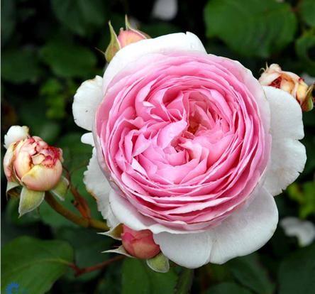 Rosa 'Geoff Hamilton'/Engelsk rose. Beskrivelse Bliver 1 - 2 m høj og ca. 1,2 m bred. Blomstrer fra juni - november måned. 6 - 9 cm store duftende rosarøde blomster. Trives bedst i fuld sol. Vokser i almindelig havejord. Storblomstrende rose til havens bed. Er fuldt hårdfør