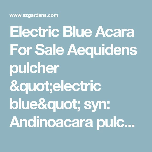 Electric Blue Acara For Sale Aequidens pulcher