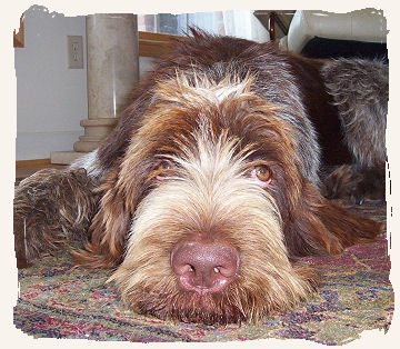300 best Spinone Italiano images on Pinterest | Italian ...