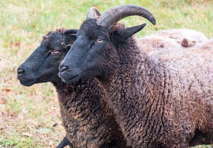 102 best hog island sheep images on pinterest