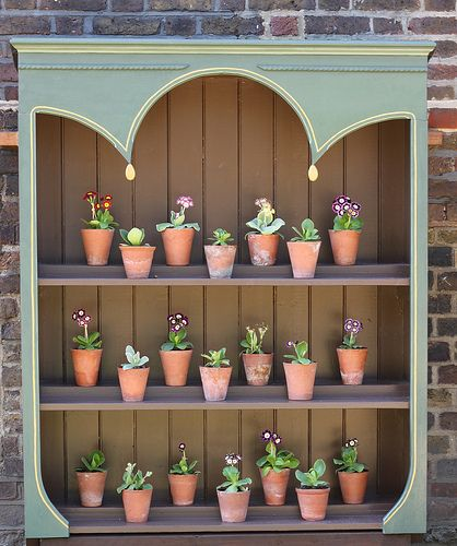 Auricula theatre - outdoor stage to show varieties of Primula auricula