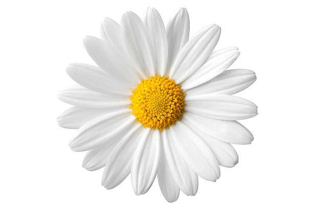 Daisy Photo With Clipping Path Similar Photographs From My Daisy Tumblr Stickers Daisy Flower