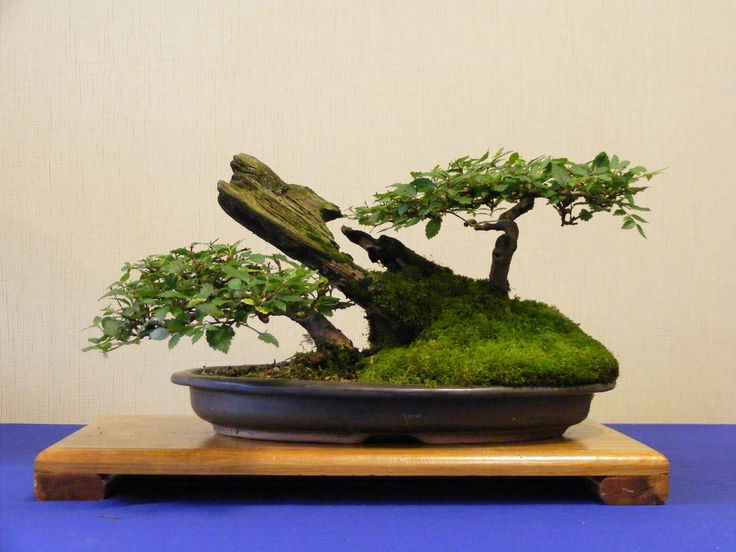 28 best images about bonsai on pinterest trees bonsai for Most expensive bonsai tree ever
