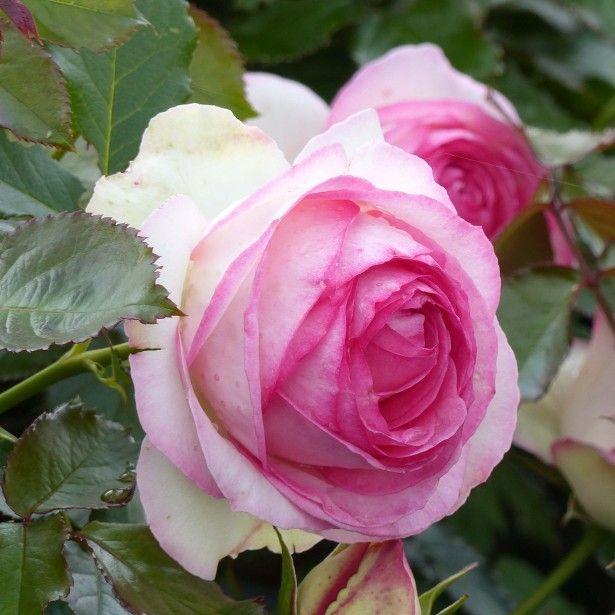 top 25+ best rosier pierre de ronsard ideas on pinterest   rose