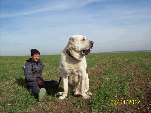 TURKISH KANGAL - A Giant  DOG