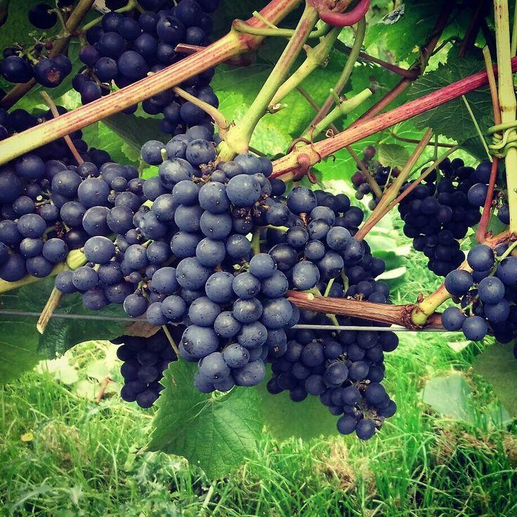Rondo grapes growing at Yorkshire Heart Vineyard.