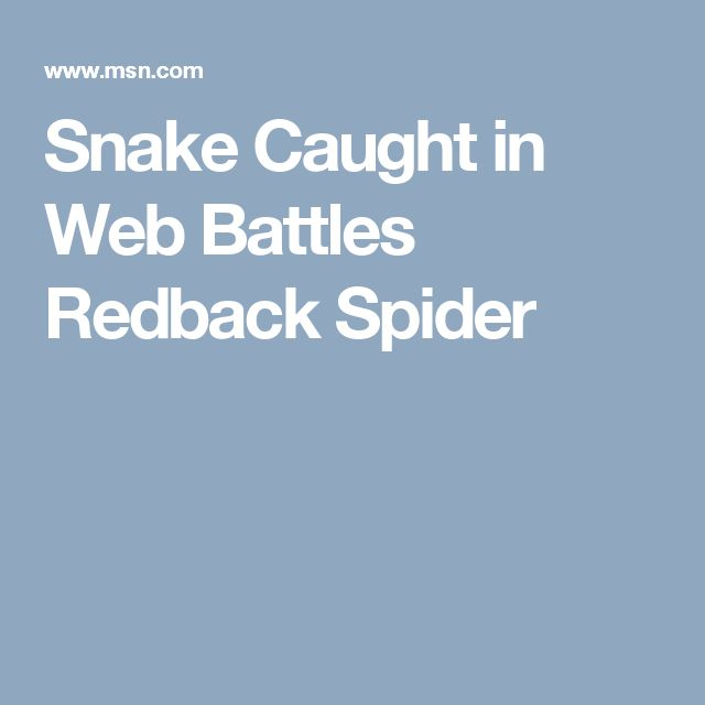 Snake Caught in Web Battles Redback Spider