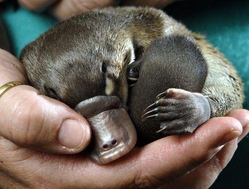 Favorite animal - platypus!