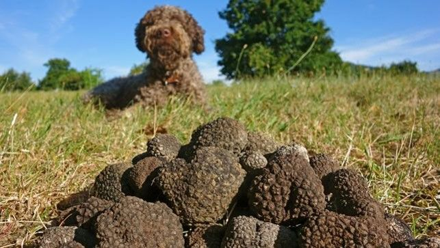THE PROUD HUNTER OF SUMMER TRUFFLES!  Meet the Lagotto Romagnolo the truffle hunting dog. He's our little helper that sniffs the best summer truffles around Istra…his highly developed nose can always smell them under the trees.  Big thanks to our dogs for finding the freshest black summer truffles in the region.  Gold Istra – From nature to your table  #Tartufi #BlackTruffle #Istra #Truffles #Truffle #SummerTruffle #Experience #Exciting #Specialties #food #tasty #yum #instafood #instagood…