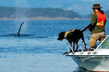 Para monitorear la salud de las ballenas, los científicos necesitan analizar las heces de la ballena. Solo hay un problema, las heces se hunde en menos de 30mins después de salir de la ballena, lo que significa que los científicos necesitan examinarla tan pronto como sea posible. Por esta razón, un grupo ha comenzado a entrenar perros para detectar las heces fecales. Los perros pueden oler las heces a 1.6 km o más de distancia y llevar a los científicos a encontrar su tesoro maloliente.