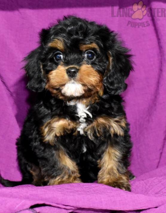 Flora Cavapoo Puppy for Sale in Fredericksburg, OH